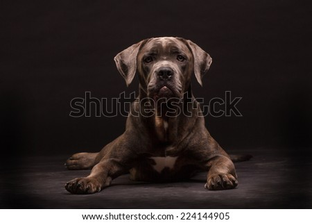 Cane corso, dog on the black background