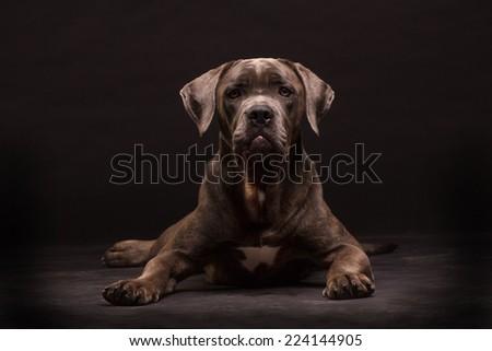 Cane corso, dog on the black background - stock photo