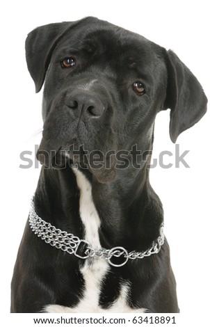 Cane Corso dog on white background - stock photo
