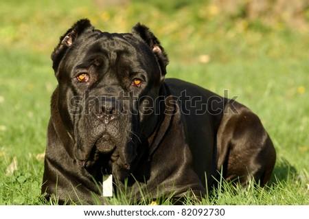 Cane corso dog portrait - stock photo