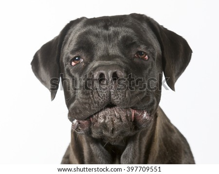 Cane corso dog portrait. Image taken in a studio. The dog's name comes from  Italian Cane (dog) and Corso (either meaning courtyard or guard), also known as the Italian Mastiff. - stock photo