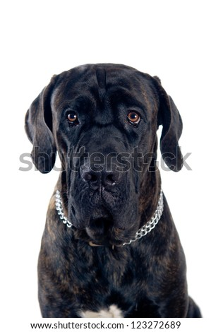 Cane-corso dog portrait isolated on white