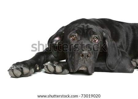 Cane-corso dog puppy lying on a white background