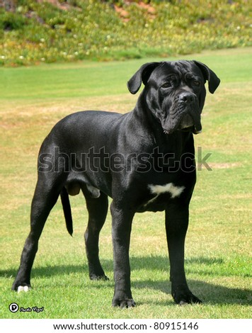 Cane Corso dog stand on grass - stock photo