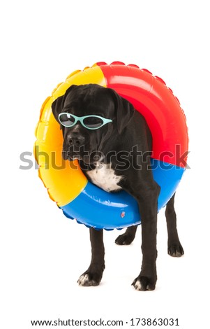 Cane Corso dog with inflatable swimming band on vacation isolated over white background - stock photo