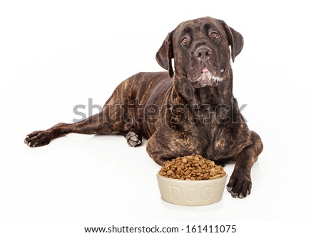 Cane Corso dog with slobber on his mouth laying in front of a heaping bowl of dry kibble food - stock photo
