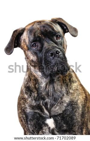 Cane corso in studio - stock photo