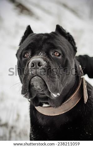 Cane corso Italian dog outdoors portrait - stock photo