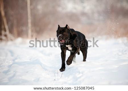 cane corso italiano dog running in the snow - stock photo