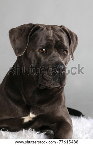 Cane Corso Italiano Female Portrait - stock photo