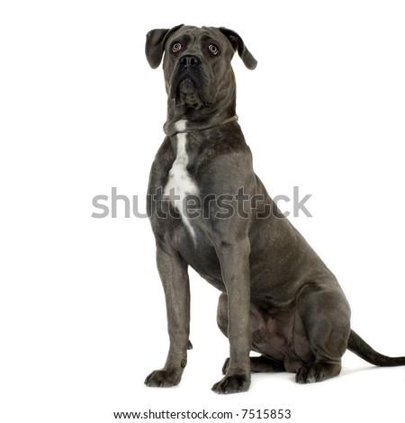 Cane Corso (9 months) in front of white background - stock photo