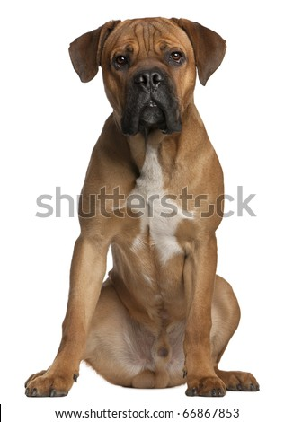 Cane Corso, 9 months old, sitting in front of white background - stock photo