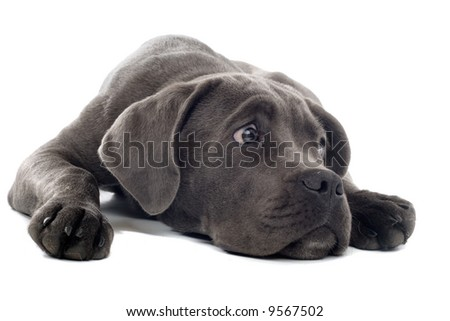 cane corso pup isolated on a white background - stock photo