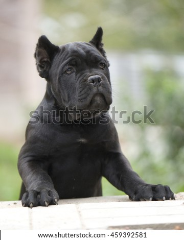 Cane corso puppy - stock photo