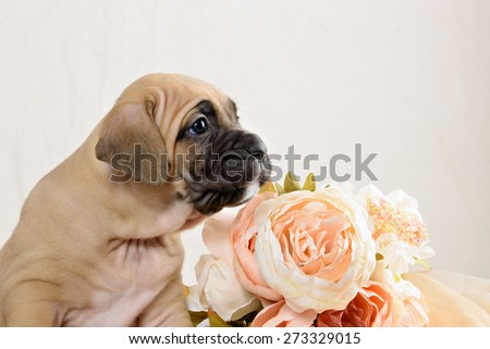 Cane Corso puppy bright red color with a bouquet of flowers peonies - stock photo
