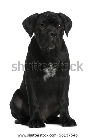 Cane corso puppy, 3 months old, sitting in front of white background