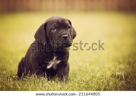 cane corso puppy portrait - stock photo