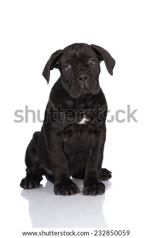 cane corso puppy sitting