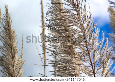 Cane flower - stock photo