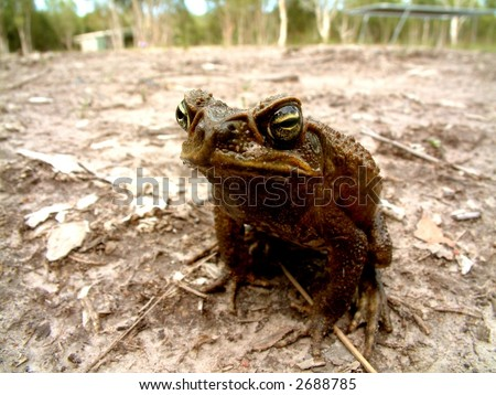 Cane Toad in Queensland Australia looks to camera. A national pest in the tropical regions with predatory habits on the native wildlife - stock photo