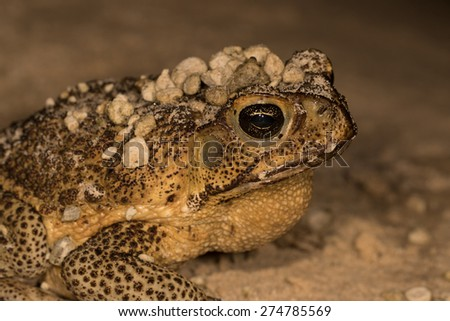 Cane toad with pumice rocks on its head