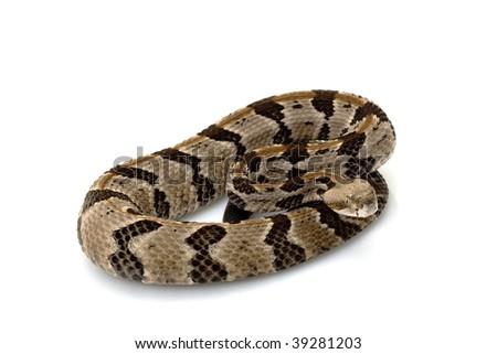 Canebrake rattlesnake (Crotalus horridus) isolated on white background - stock photo