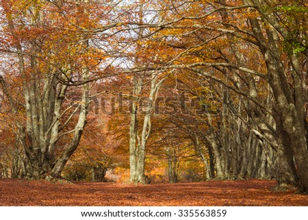 Canfaito beech forest in autumn, Italy. - stock photo