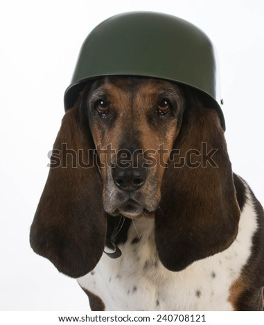 canine soldier - basset hound wearing military helmet on white background - stock photo