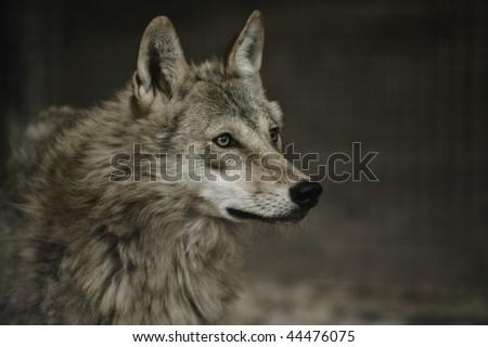canis lupus - stock photo