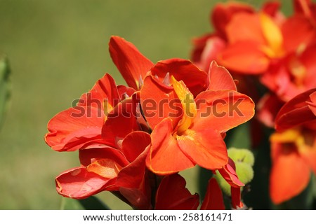 Canna flowes on nature - stock photo