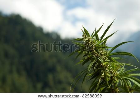 Cannabis - stock photo
