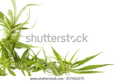 Cannabis background with copy space. Buds and leaves on white background, top view. - stock photo