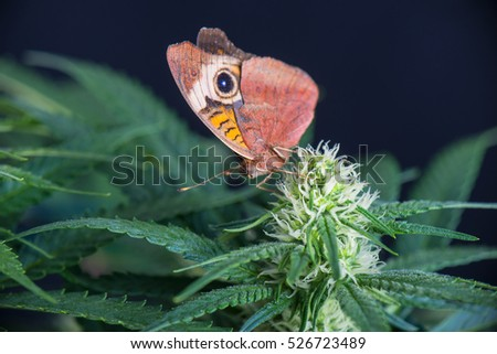 Cannabis flower and butterfly - Blooming Marijuana plant with early white flowers on a garden