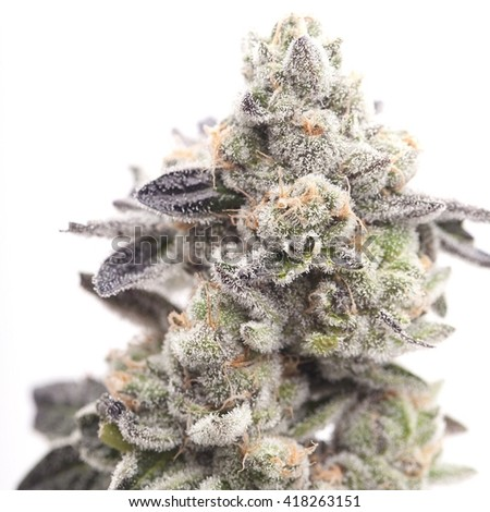 Cannabis Flower - Girl Scout Cookies - stock photo