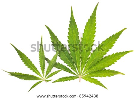 Cannabis  is a genus of flowering plants that includes three putative species, Cannabis sativa, Cannabis indica, and Cannabis ruderalis. - stock photo