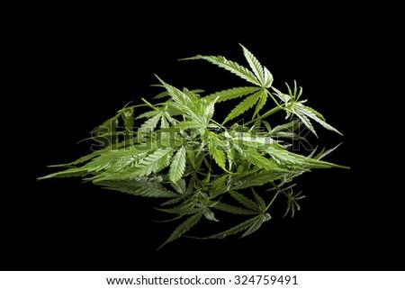 Cannabis isolated on black background. Alternative medicine. - stock photo