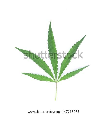 Cannabis leaf. - stock photo
