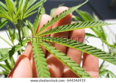 Cannabis Leaf In Palm Of Hand Close Up High Quality