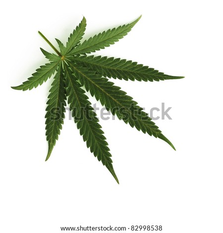 cannabis leaf isolated - stock photo