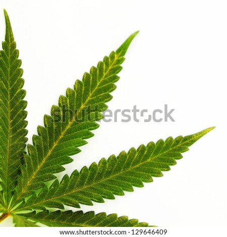 cannabis leaf isolated on white background - stock photo