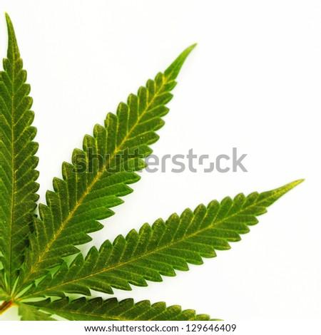 cannabis leaf isolated on white background - stock photo