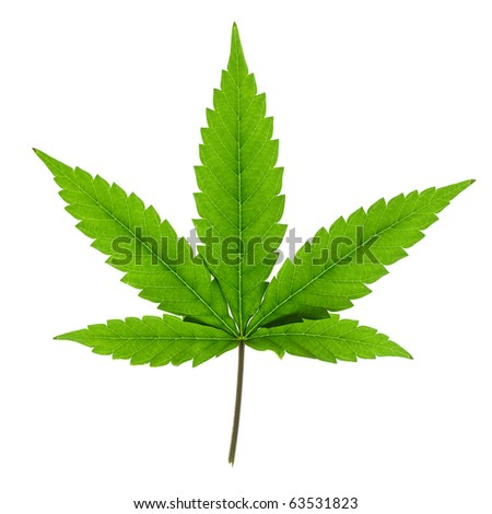 Cannabis leaf isolated on white background. - stock photo