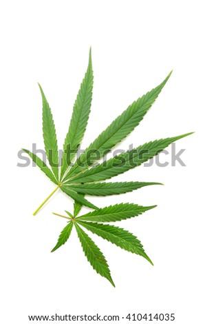 Cannabis leaf, marijuana isolated on white background - stock photo