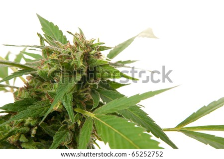Cannabis leaf - Mariuana plant and leaf - hemp - stock photo