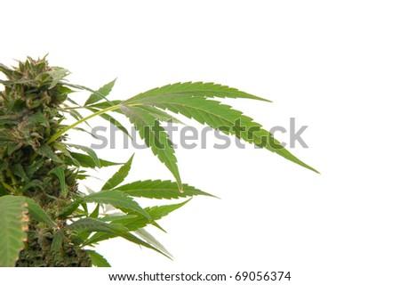 Cannabis leaf - Mariuana plant and leaf - hemp - stock photo