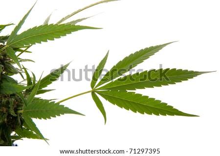 Cannabis leaf - Mariuana plant and leaf - hemp on white background - stock photo