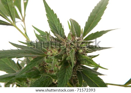 Cannabis leaf - Mariuana plant and leaf - hemp on white background - stock photo