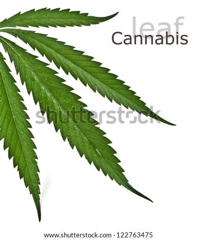 Cannabis leafclose up on white - stock photo