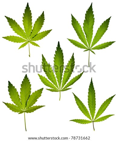 Cannabis leafs isolated on white background. - stock photo
