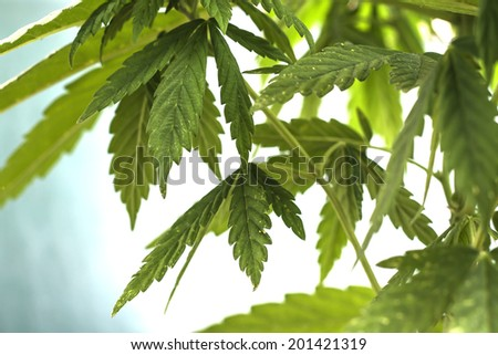cannabis leaves background  - stock photo